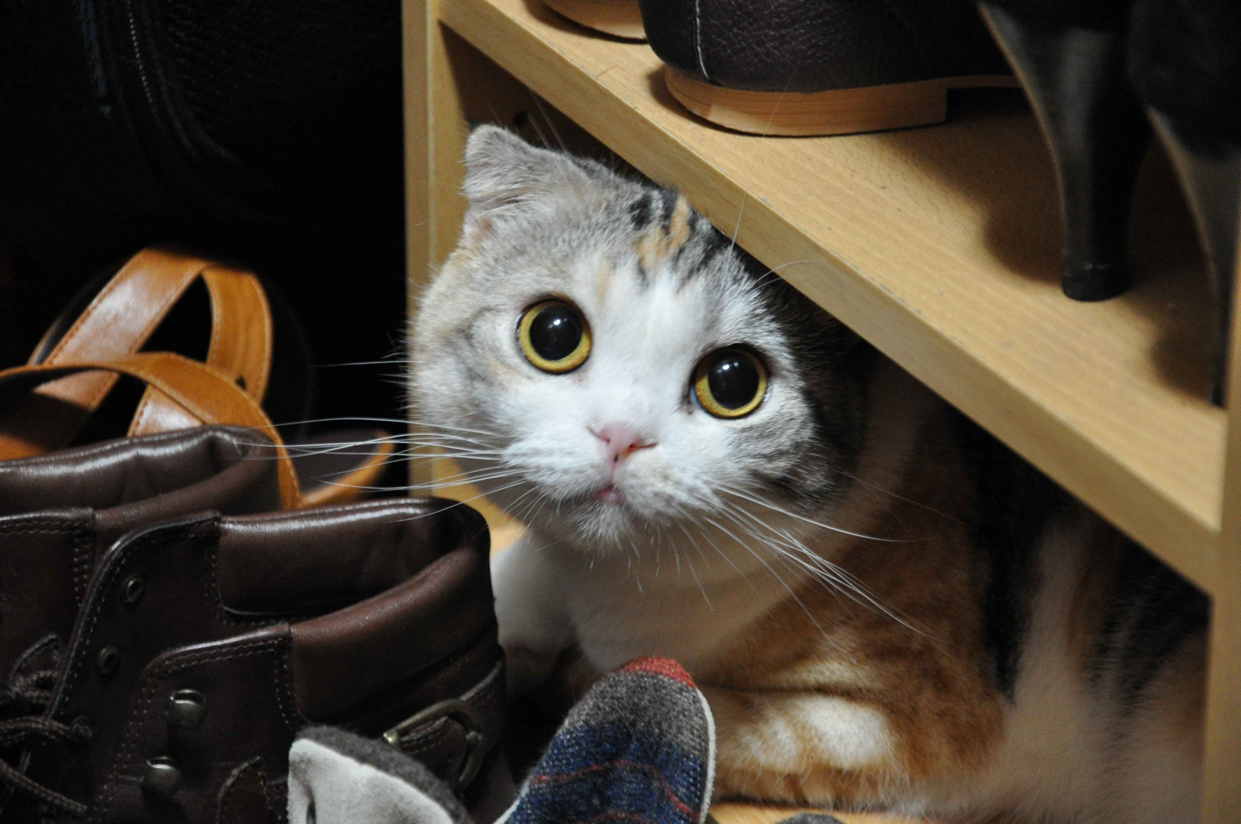 スコティッシュフォールドの日常【家猫の特徴】