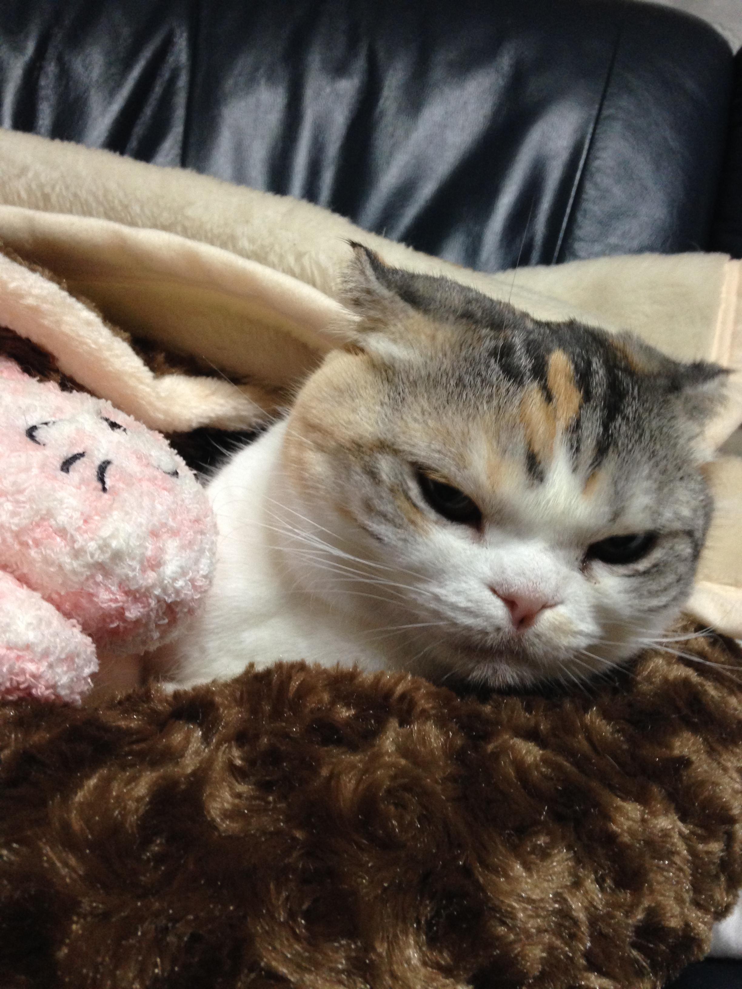 【ふみふみ】冬の猫様【スコティッシュフォールド】