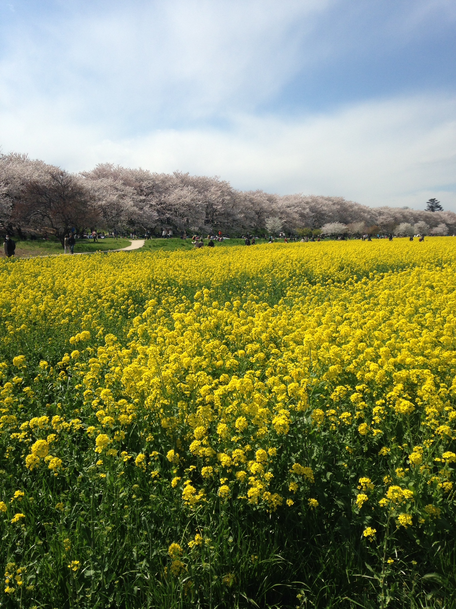 【お花見】幸手の権現堂桜堤に行ってきた。